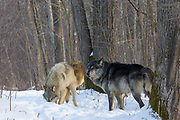A pack of gray wolves in wooded winter habitat.