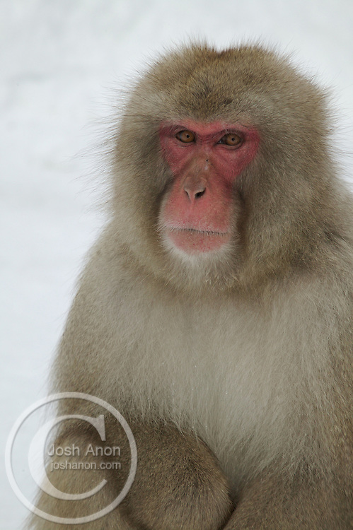 A snow monkey sits on the snow in Japan.