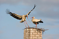 White stork (Ciconia ciconia) adult in flight bringing in nesting material. Rusne, Lithuania. Mission: Lithuania, June 2009