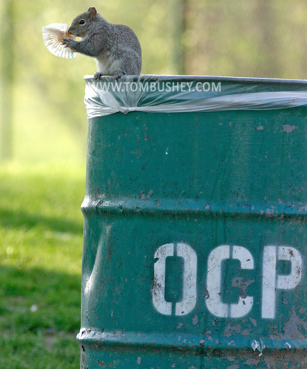 Hamptonburgh, N.Y. - A squirrel sits on top of a garbage can while eating a cupcake wrapper at Thomas Bull Memorial Park on May 6, 2006.