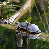 Two Florida Redbelly Turtles on submerged tree trunk, Southwest, Florida