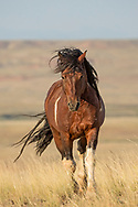 The pinto stallion, Chiracahua is in his prime. He's been a band stallion for the last 5+ years, but is now being challenged by a dark bay stallion. The dark bay is feeling the brunt of these constant battles and is covered in wounds inflicted by Chiracahua. Unfortunately, the young challenger won't give up. His constant dogging of Chiracahua, has left the once easy-going stallion, short tempered and irritable. Here Chiracahua makes his way towards the dark bay in another attempt to drive him from his mares. Unfortunately, for Chiracahua, the youngster didn't take the hint.