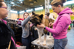 © Licensed to London News Pictures. 10/03/2016. Crufts celebrates its 12th anniversary as the Worlds largest dog show. Birmingham, UK. Photo credit: Ray Tang/LNP