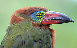 Golden-collared Toucanet (female), Selenidera reinwardtii, Ecuador, by Forrest Rowland