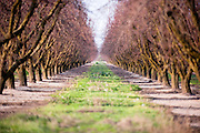 A row can be seen from the front to the back of these rows of trees in California.