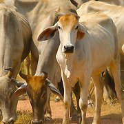 A Brahman Cow, Bos taurus indicus, in a herd of cows in Ratchaburi province, Thailand.