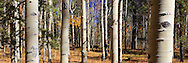 Aspen trees in Colorado fall