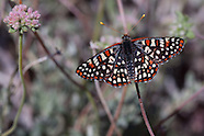 Euphydryas chalcedona hennei - Chalcedon Checkerspot
