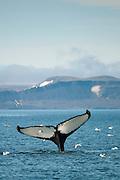 Humpback whale (Megaptera novaeangliae) fluking its tail