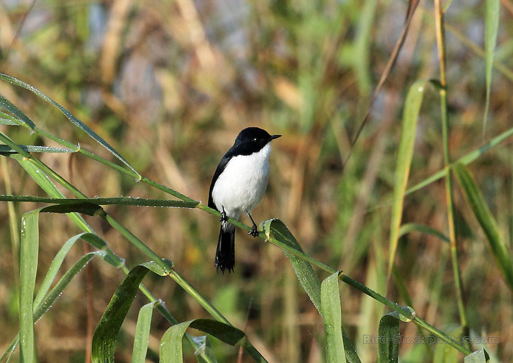 Jerdon's Bush Chat, Saxicola jerdoni, Lake Inle, Myanmar, by Adam Riley