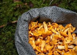 THEMENBILD - aktuell ist Hochsaison für Schwammerljäger. Durch die feuchten und regnerischen letzten Wochen lassen sich aktuell besonders viele Pilze in den heimischen Wäldern finden // high season for mushroom hunters. Through the damp and rainy last weeks, especially many mushrooms can be found in the local forests, Austria on 2017/07/28. EXPA Pictures © 2017, PhotoCredit: EXPA/ Jakob Gruber