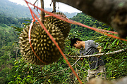Tan Chee Keat works on a Black Thorn durian tree in a farm owned with his father, Tan Eow Chong and his family in Balik Pulau, Pulau Pinang, Malaysia on June 17th, 2019. Tan Eow Chong is an award-winning durian farmer famed for his Musang King variety, and last year exported 1000 tons of the fruit to China from his family-run durian empire, expanding from an 80 acre farm to 1000 acres.  Photo by Suzanne Lee/PANOS