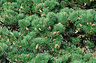 Monterey Pine Pinus radiata (Pinaceae) HEIGHT to 45m <br /> Large, variable pine, slender and conical when growing vigorously, becoming more domed and flat-topped on a long bole with age. BARK Fissured and grey, blackening with age. BRANCHES Main ones sometimes hang low enough to touch ground. LEAVES Bright-green needles in bunches of 3; each needle is thin and straight, to 15cm long, with a finely toothed margin and harp-pointed tip. REPRODUCTIVE PARTS Male flowers grow in dense clusters near ends of twigs, releasing pollen in spring. Female cones grow in clusters of 3–5 around tips of shoots, ripening to large, solid woody cones, to 15cm long and 9cm across, with a characteristic asymmetrical shape. Cone scales are thick and woody with rounded outer edges, and conceal black, winged seeds. STATUS AND DISTRIBTUION Native to a small area around Monterey, California, Guadalupe Island and Baja California, Mexico. Widely planted here in mild areas as a shelter-belt tree or for ornament, growing well next to the sea. Vigorous when young.