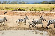 Zebras in the watering hole mud, Serengeti National Park, Tanzania