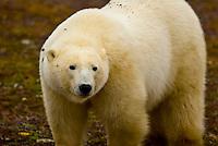 Polar bear on the tundra near Hudson Bay, near Churchill, Manitoba, Canada