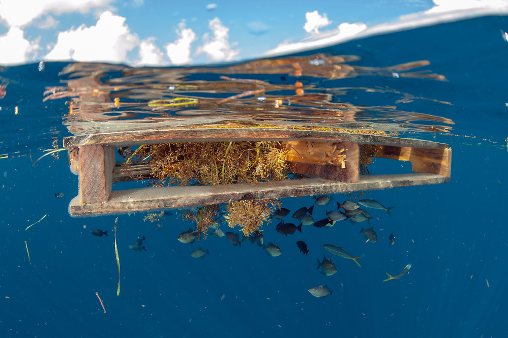 Juvenile fish seek refuge and safety underneath a wooden pallette drifting offshore Palm Beach County, Florida, United States.
