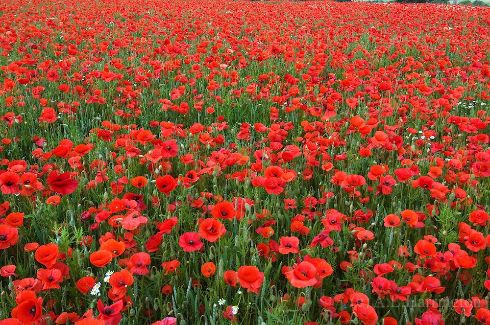 Poppies in organic wheat field Oxfordshire UK 2005
