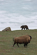 In this encounter between two megafauna, one wonders who will come out on top. In this case, once this bull bison raised his tail and locked eyes on the approaching grizzly bear, the bear retreated down the hillside and away from the bison. It is uncertain how all of these encounters end, but on this day the bison was truly the King of Yellowstone.