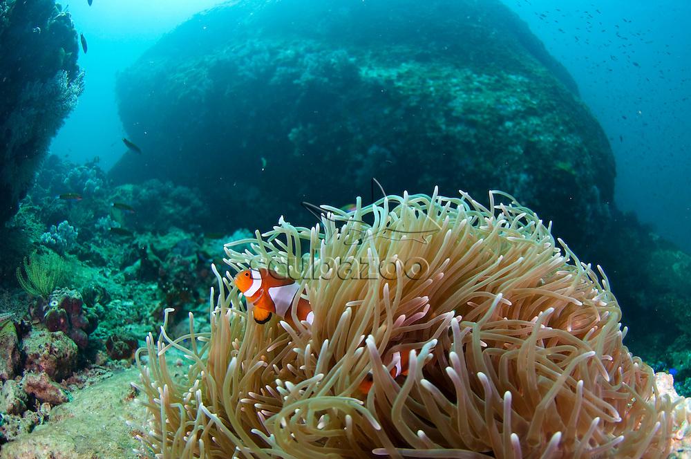 False Clown Anemonefish, Amphiprion ocellaris, Mayne Rock, West Coast of Sabah, Borneo, East Malaysia.