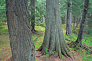 Inland temperate rain forest in Hemlock Grove<br /> Glacier National Park<br /> British Columbia<br /> Canada