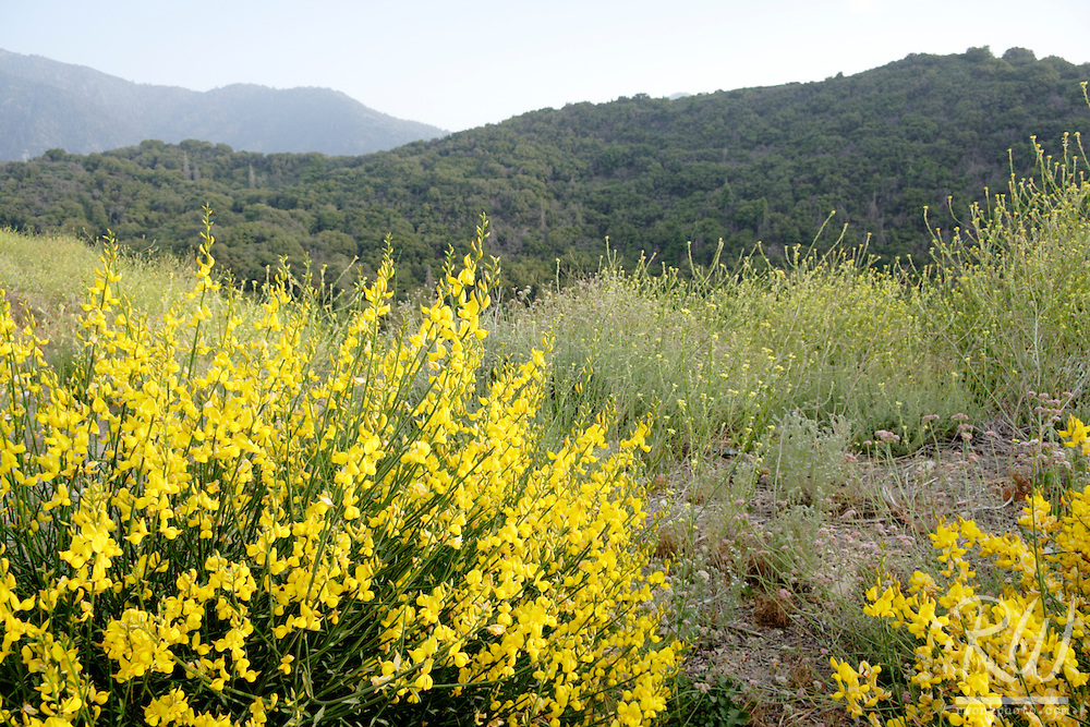 Yellow Wildflowers, San Bernardino Mountains, California
