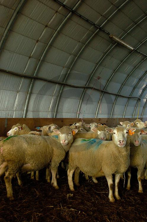 14/03/05 - LANGERON - NIEVRE - FRANCE -  Elevage de brebis croisees Charolaises Ile de France et Suffolk - Photo Jerome CHABANNE