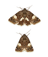 73.031 (2465)<br /> Four-spotted - Tyta luctuosa