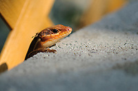 A five lined skink emerges from behind a concrete block to catch the last rays of sunlight of the day.