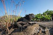A marine iguana basks in the sun on Santiago island, Galapagos islands, Ecuador.