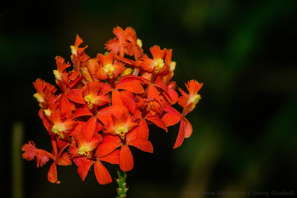 [Epidendrum sp] Orchid flowers, detail; Quito, Ecuador