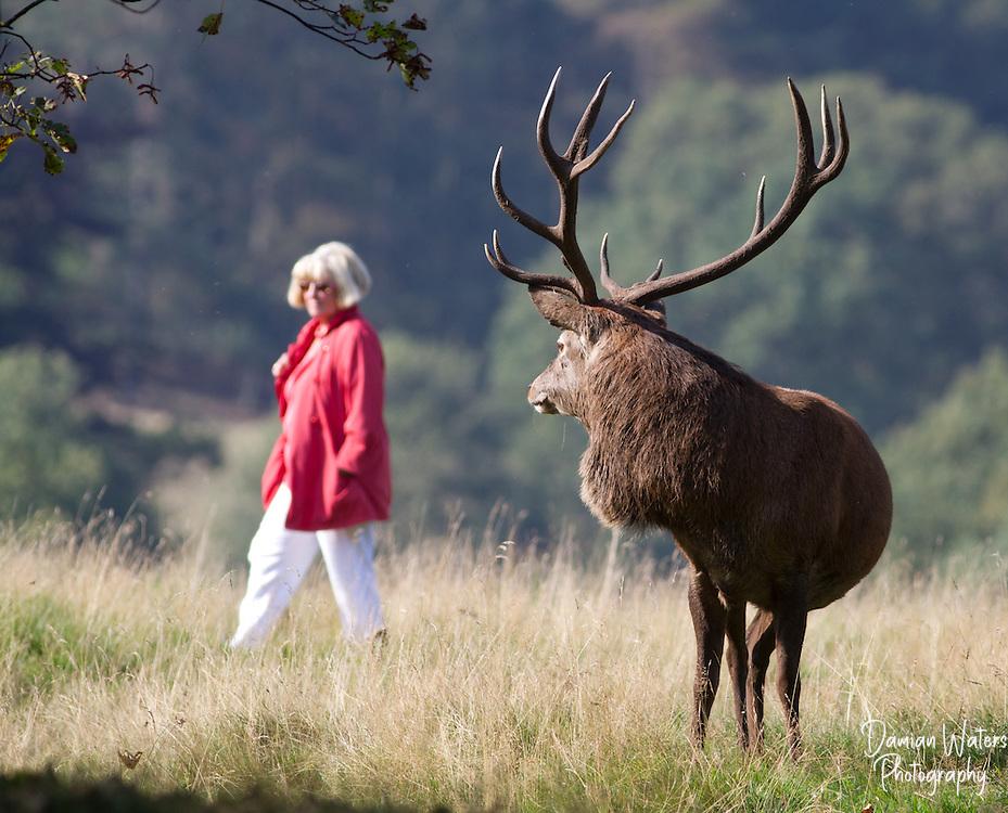 Red Deer stag watching lady walking passed, Cervus elaphus, Cheshire, October