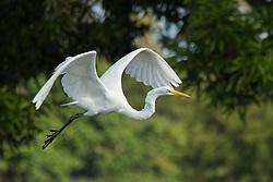 Central America, Nicaragua, Granada, Lake Nicaragua, Asese Bay.  Giant Egret in flight