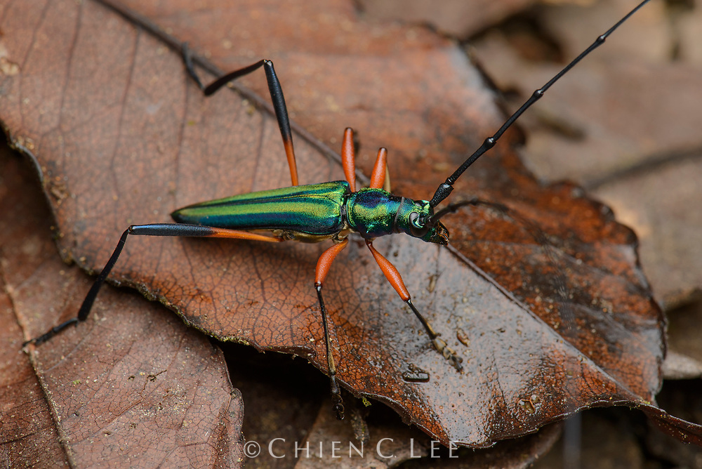 Chloridolum promissum. A beautiful longhorn beetle from the rainforest of Central Sulawesi.