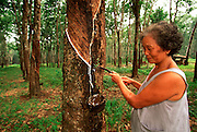 THAILAND, SOUTH, PHUKET ISLAND Natural rubber tree plantation collecting latex sap from grooves cut in tree trunk