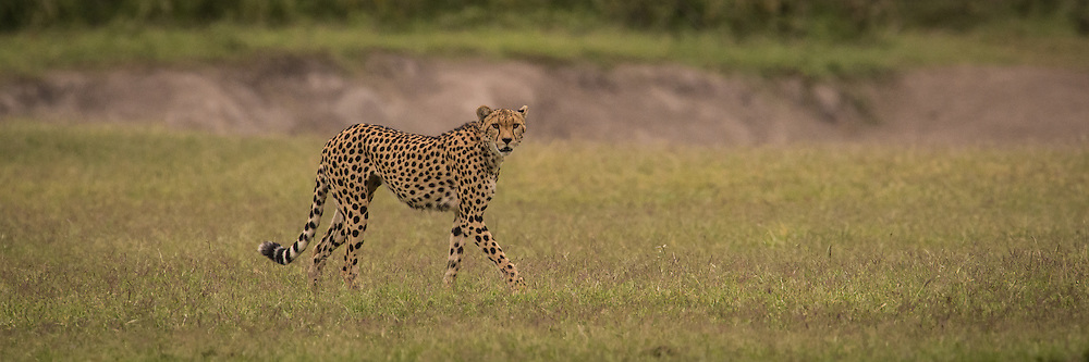 One of approximately six Cheetahs still in Amboseli National Park, Kenya