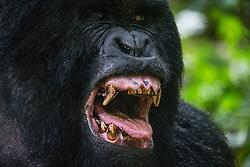 A mountain gorilla (Gorilla beringei beringei) yawns as it prepares to take a nap, Park de Volcanoes ,Rwanda