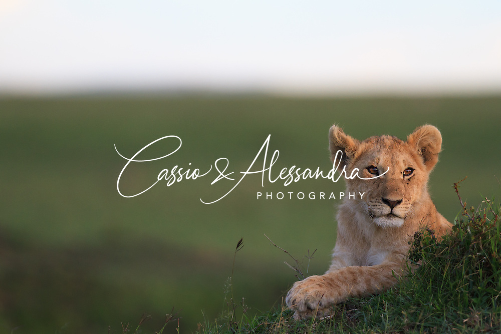 Kenya - Maasai Mara - Lion - Panthera leo -