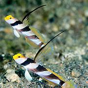 Black-ray partner goby Stonogobiops nematodes at, Lembeh Straits, Indonesia.