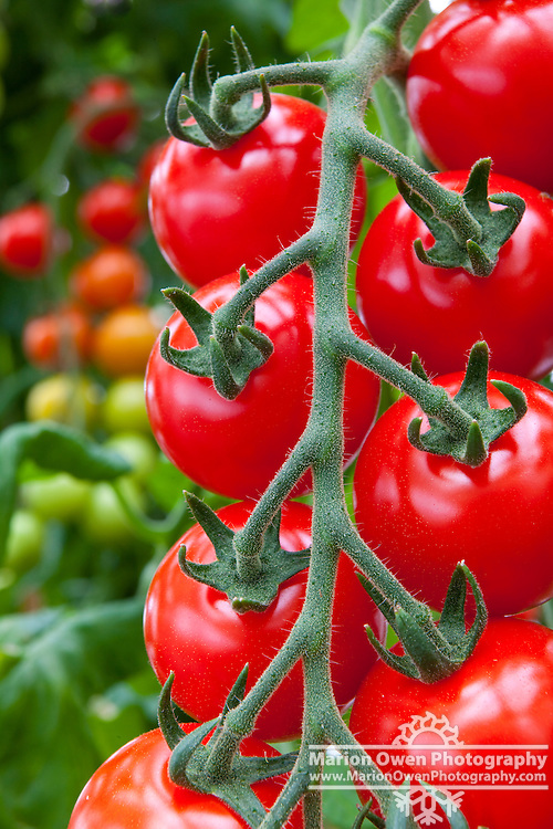 Ripe cherry tomatoes, ready to pick in a greenhouse, Kodiak Island, Southwest, Alaska, summer.