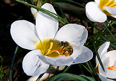 MAR 05 2013 Bee Gathers Pollen