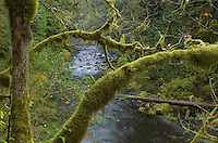 Big Leaf Maple trees along Tanner Creek, Columbia River Gorge National Scenic Area Oregon
