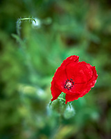 Red Poppy flower. Backyard spring nature in New Jersey. Image taken with a Fuji X-T1 camera and 60 mm f/2.4 macro lens (ISO 200, 60 mm, f/4, 1/500 sec).