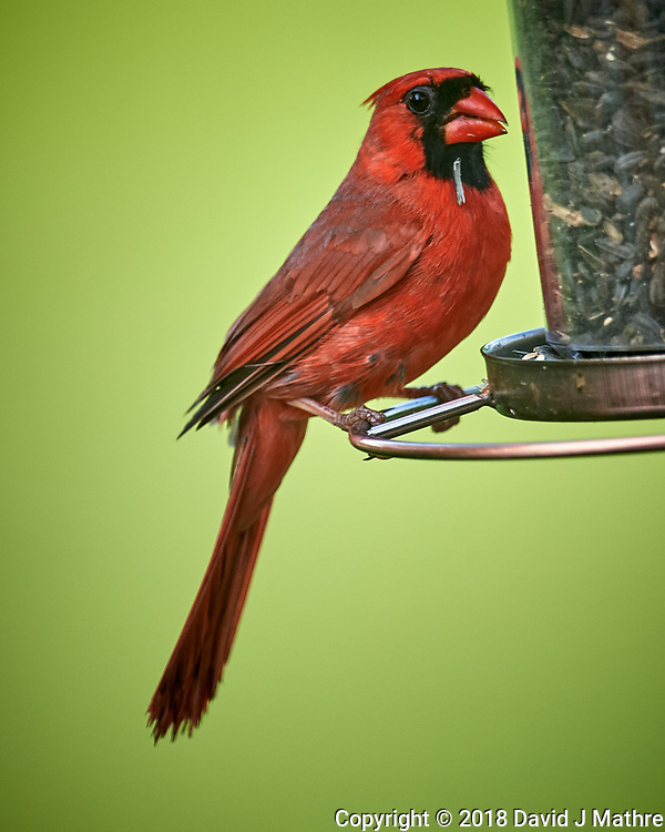 Male Northern Cardinal. Image taken with a Nikon D5 camera and 600 mm f/4 VR lens.