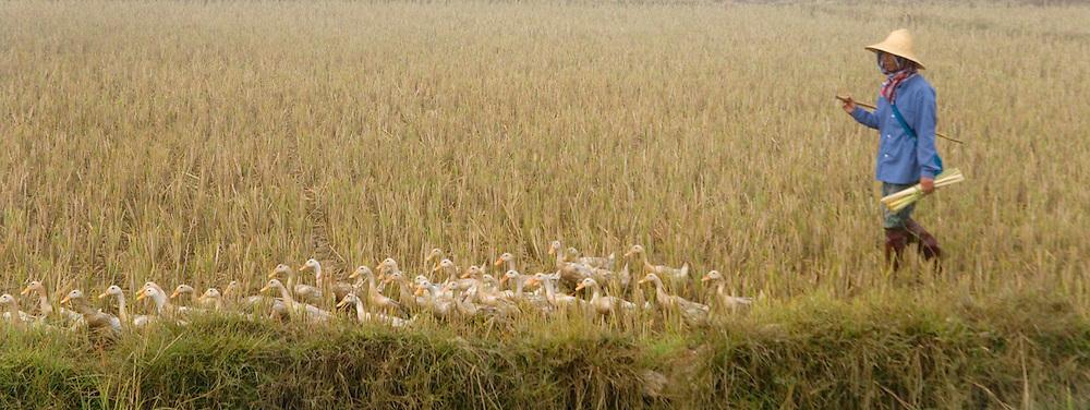 Farmer herding ducks, Kengtung, Myanmar