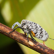 Eurybrachidae beetle planthopper.