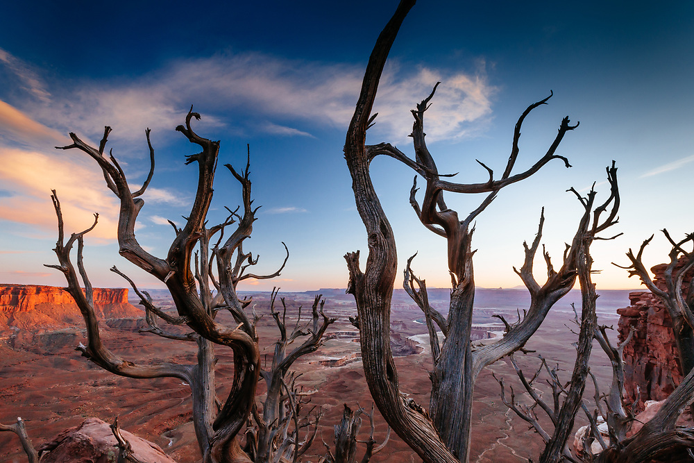 Sunset through a pinyon pine in the Island in the Sky district of Canyonlands National Park near Moab, Utah.