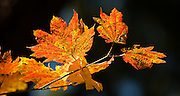 Acer circinatum (Vine Maple), Mount Tabor Park, Portland, Oregon, USA