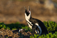 African Penguin braying while its partner incubates on the nest, Bird Island, Algoa Bay, Eastern Cape, South Africa