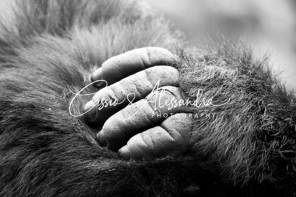 When we visited the Mountain of Gorillas we have prepared a lot for it and many ideas were in our heads. what we could not imagine was that almost all could be accomplished and one ot them was to capture the roughness of their hands. How can men use hands like this as ashtrays?