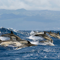 Common dolphin. Delphinus delphis, Pico, Azores, Portugal